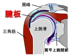 図1:腱板